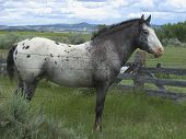 picture of appaloosa  - Spanish Mustang Appaloosa Stallion standing in spring pasture - JPG