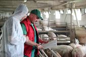 image of swine flu  - Veterinarian doctor with farm worker at a pig farm