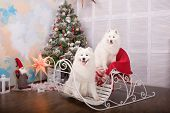 Two White Samoyed Husky Dog. Christmas And New Year Decorations. Dog Near The Christmas Tree. poster