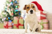 Merry Christmas. Dog Jack Russell Terrier in a house decorated with a Christmas tree and gifts wishe poster
