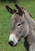 picture of hustler  - donkey - JPG
