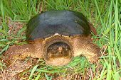 picture of winnebago  - Snapping Turtle  - JPG