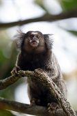 stock photo of marmosets  - mico sagui Black - JPG