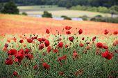 Poppy Field Chiltern Hills Hertfordshire poster