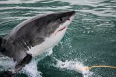 picture of great white shark  - Great white shark breaking the surface in South Africa.