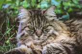 Beautiful Tabby Cat Outside Lying On Grass. Cat Outdoors. Detail Of Cats Head. Cute Pets. Grey Cat W poster