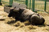 Portrait Of Asiatic Water Buffalo (bubalus Arnee) poster