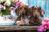 dachshund puppy brown tan color and piebald poster