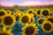 Sunflower Field Landscape With The Sun. Field Of Blooming Sunflowers On A Summer Sunset. Sunflower N poster