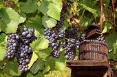stock photo of wine-press  - a press with grapes to recover the grape juice to manufacture the wine of it - JPG
