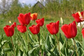 picture of rebs  - Reb tulips in a countryside in Moscow region - JPG