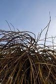 picture of weeping willow tree  - branches and twigs from a weeping willow tree