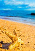 foto of starlet  - Sea Starlet Fallen Star - JPG