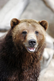 stock photo of grizzly bear  - close - JPG