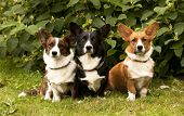 stock photo of corgi  - three Welsh Corgi Pembroke dogs  sitting on the grass   - JPG