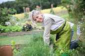 picture of 50s 60s  - Senior woman planting aromatic herbs in kitchen garden - JPG