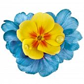 Colorful blooming primrose primula polyanthus isolated on white