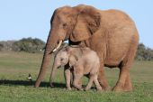 foto of baby animal  - Baby African elephant chasing a bird with it - JPG