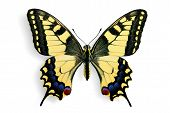 Common Swallowtail (papilio Machaon)