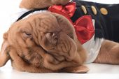 stock photo of dogue de bordeaux  - cute puppy  - JPG
