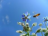 foto of borage  - honey bee collecting nectar from a borage - JPG