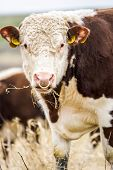 image of hereford  - A high country Hereford bull looking into the camera