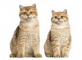 Two British shorthair sitting, isolated on white