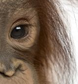 Close-up of a young Bornean orangutan's eye, Pongo pygmaeus, 18 months old, isolated on white