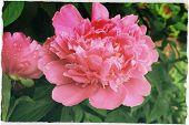 stock photo of pompous  - pompous big in full bloom pink peony on bush - JPG