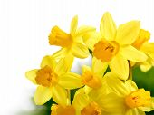 Fresh Bright Daffodils Isolated On White