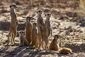Suricate Family Standing In The Early Morning Sun Looking For Possible Danger