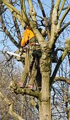 Pruning of a tree, a lumberjack in action