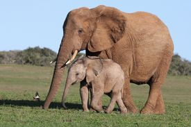 stock photo of baby animal  - Baby African elephant chasing a bird with it - JPG