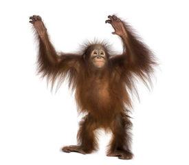 foto of orangutan  - Young Bornean orangutan standing - JPG