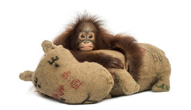 image of saddening  - Young Bornean orangutan hugging its burlap stuffed toy - JPG