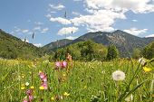 image of buttercup  - alpine wildflower meadow with buttercups lychnis dandelions bavarian landscape