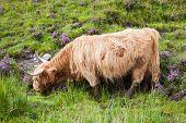 stock photo of highland-cattle  - Highland cattle or Scottish cattle photographed on Isle of Skye - JPG