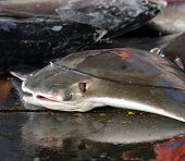 picture of stingray  - A large stingray is for sale at a fishmarket in Taiwan - JPG
