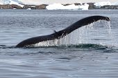 stock photo of whale-tail  - humpback whale tail at an angle which dives into the waters of the Antarctic - JPG