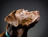 foto of chocolate lab  - image of a chocolate lab portrait in studio - JPG