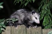 stock photo of possum  - A Virginia Opossum on a Fence at night - JPG