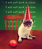 picture of pug  -  funny dog card with a pug wearing a dunce hat looking at an apple  - JPG