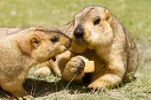 stock photo of marmot  - Couple of funny marmots with bisquit on the green grass  - JPG