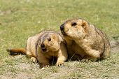 stock photo of marmot  - Couple of funny surprising marmots on the green grass (Ladakh India)