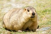 stock photo of marmot  - Funny marmot on the meadow  - JPG