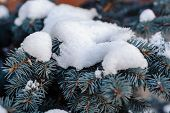 stock photo of blue spruce  - Branches of blue spruce is covered with snow - JPG
