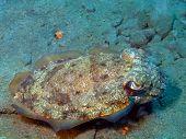 stock photo of cuttlefish  - The surprising underwater world of the Bali basin - JPG