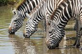 Постер, плакат: Common Zebras Drinking In Serengeti