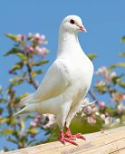 pic of pecker  - one white pigeon on flowering background - imperial pigeon - ducula