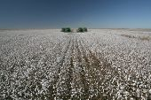 picture of boll  - harvest in cotton plantation for industrial use - JPG